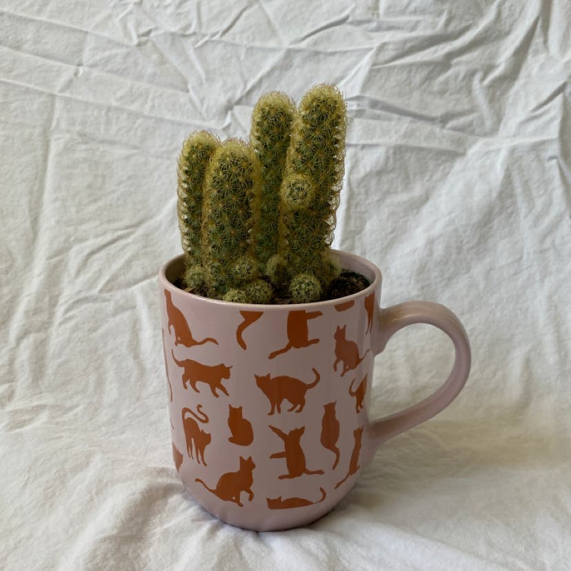 Lady Finger Cactus plant in Raleigh, North Carolina