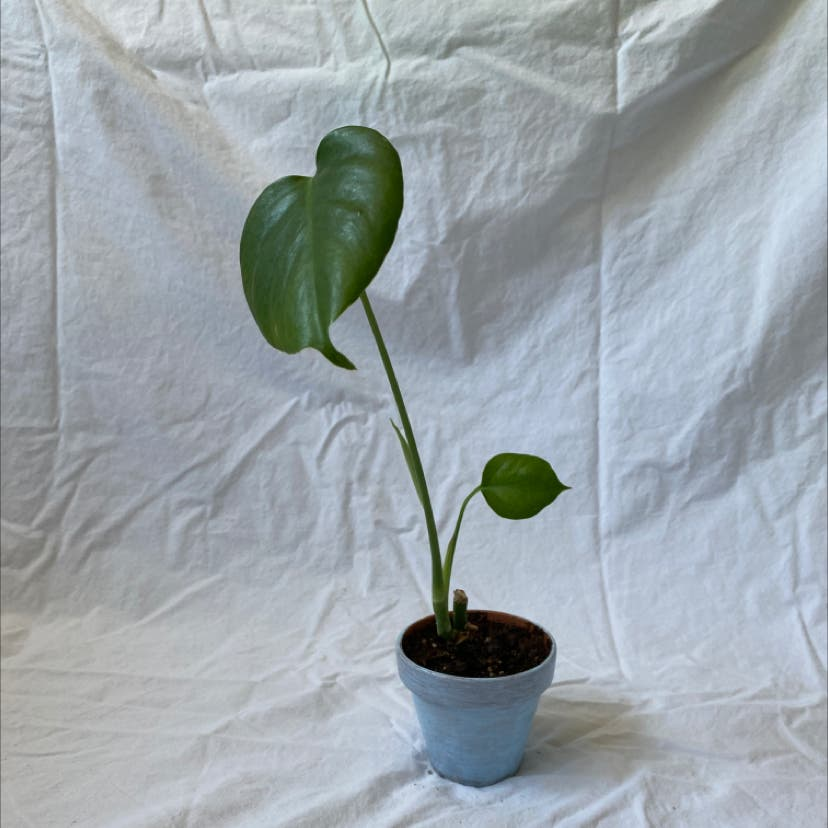 Heartleaf philodendron plant in Raleigh, North Carolina