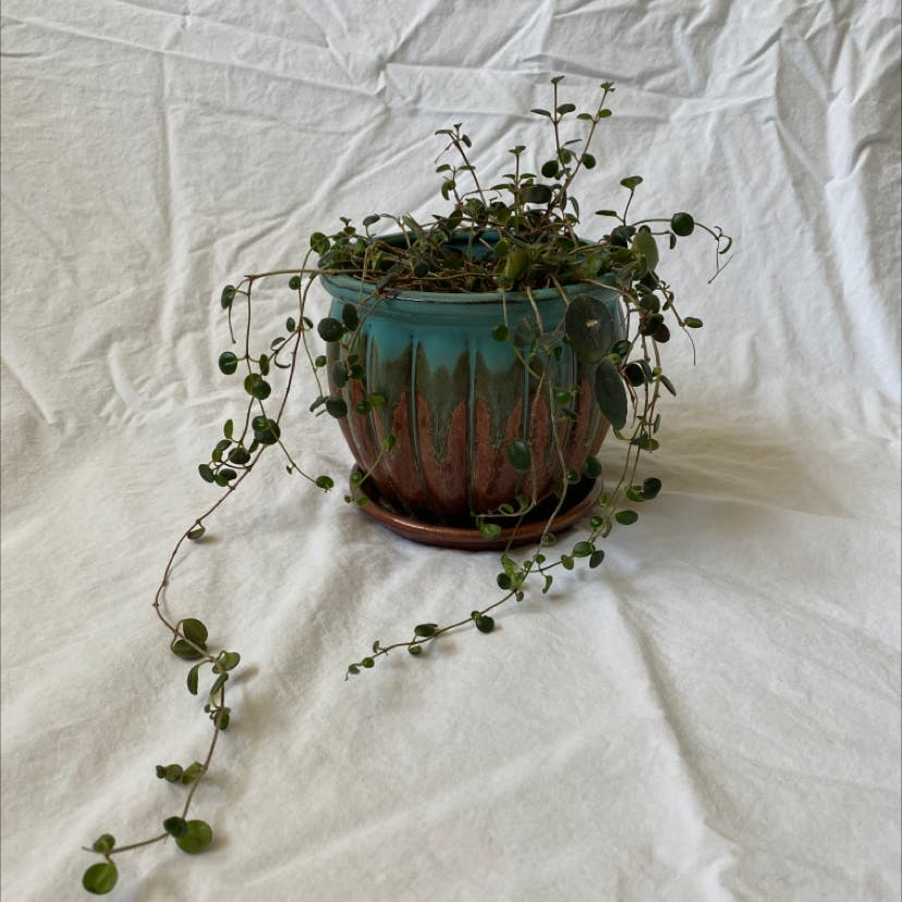 Codonanthe devosiana plant in Raleigh, North Carolina