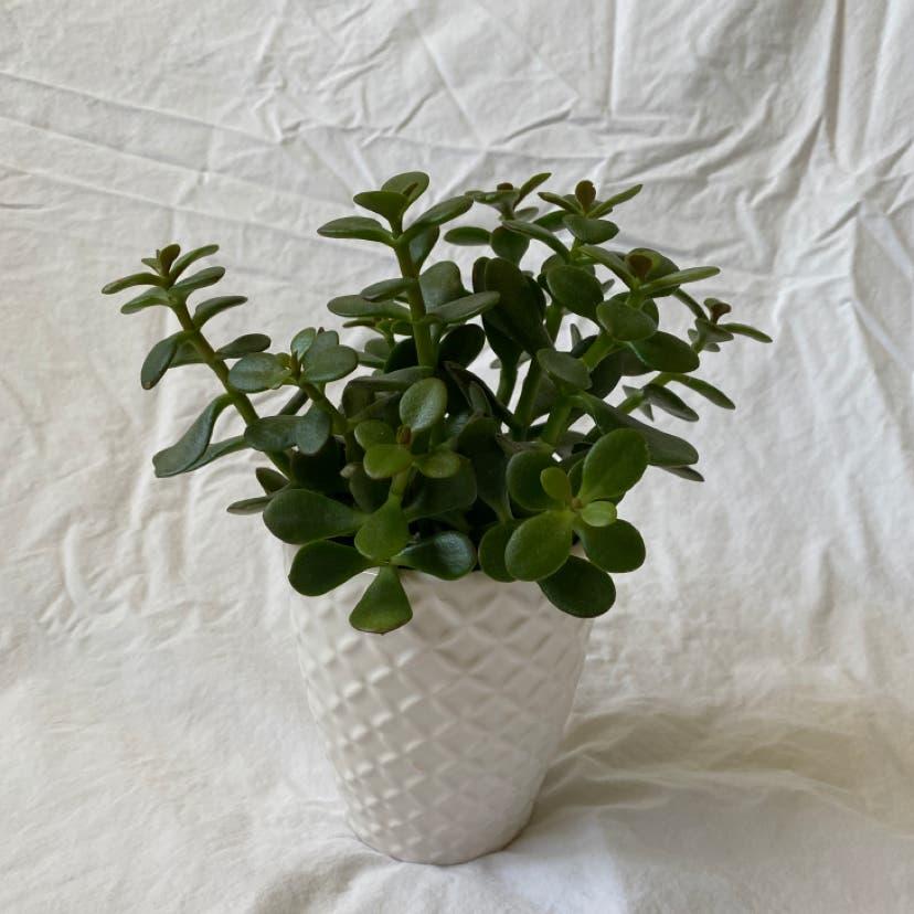 Jade plant in Raleigh, North Carolina