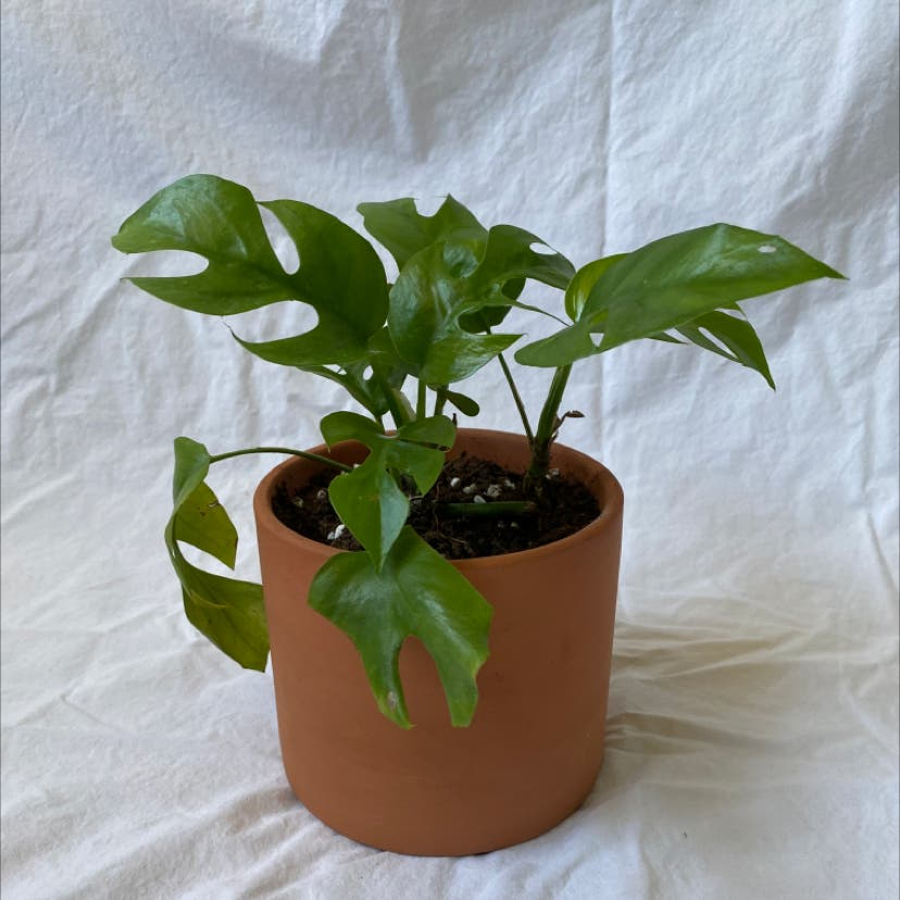 Monstera plant in Raleigh, North Carolina