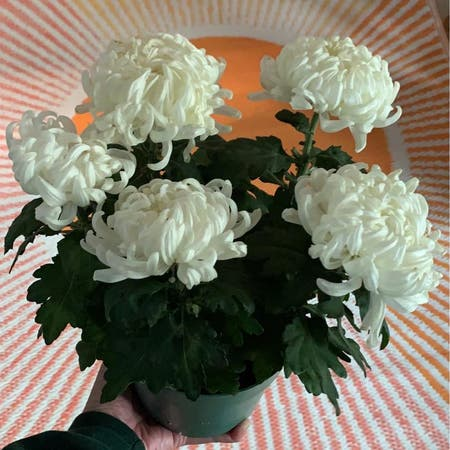 Photo of the plant species Chrysanthemum Morifolium by Crystal.incorrectly named Chrysanthemum on Greg, the plant care app