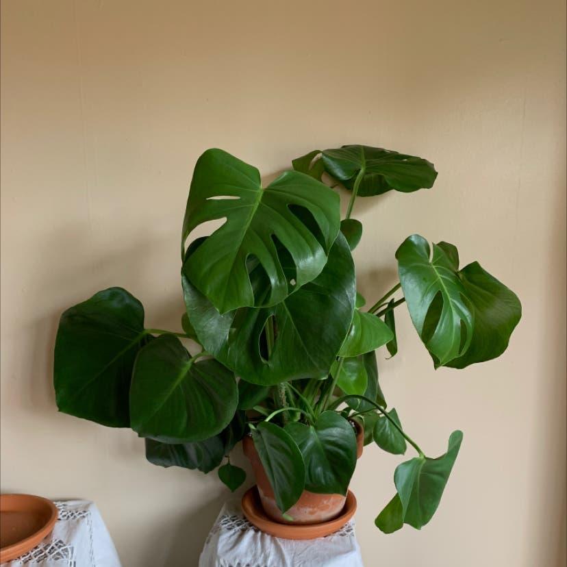 Monstera plant in Portland, Oregon