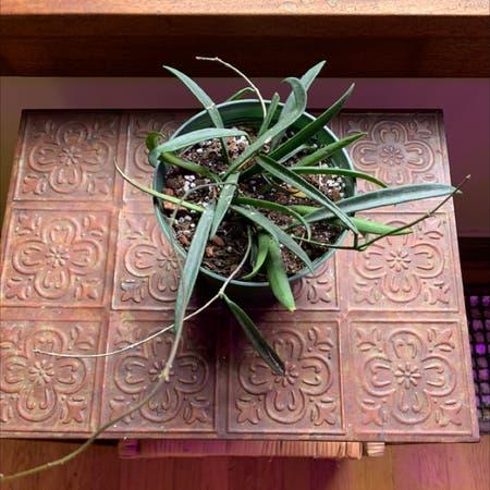 Photo of the plant species Hoya shepherdii by Leafslut69 named Hoya Kentiana (maybe sheperdii?) on Greg, the plant care app