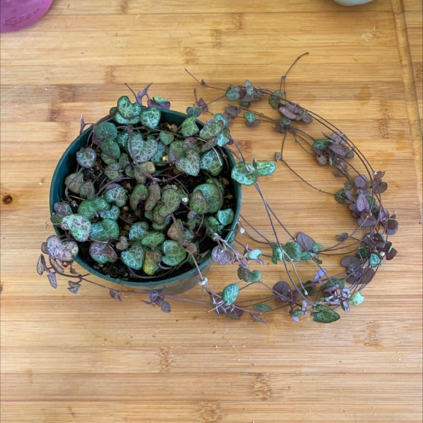 String of Hearts plant in Portland, Oregon