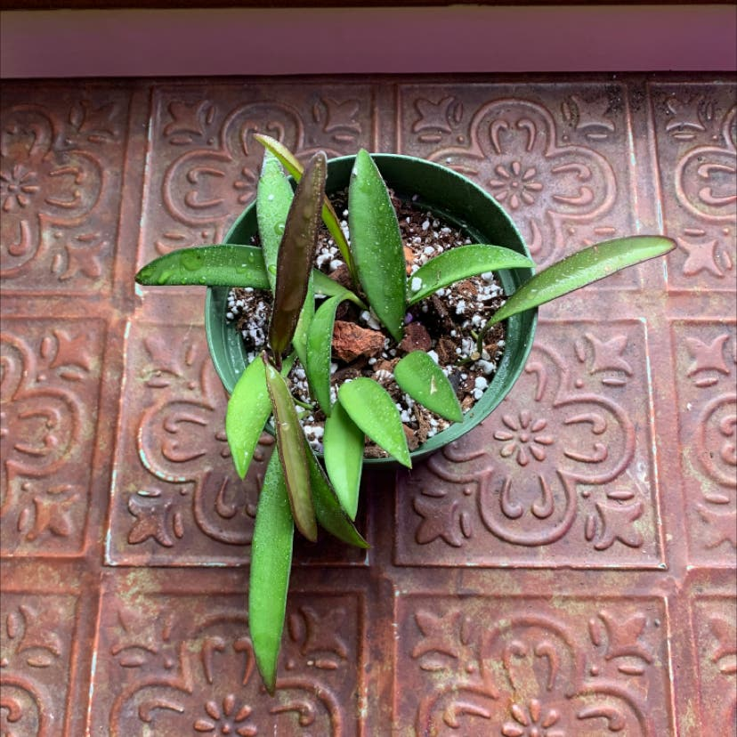 Hoya wayetii plant in Portland, Oregon