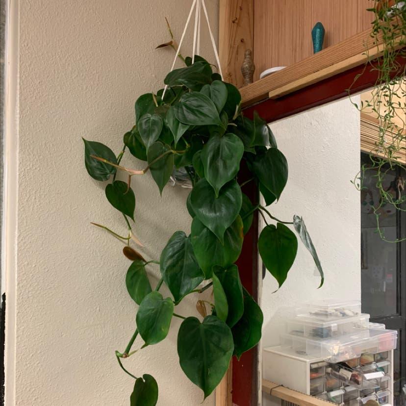 Heartleaf philodendron plant in Portland, Oregon