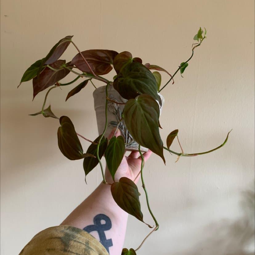 Velvetleaf philodendron plant in Portland, Oregon