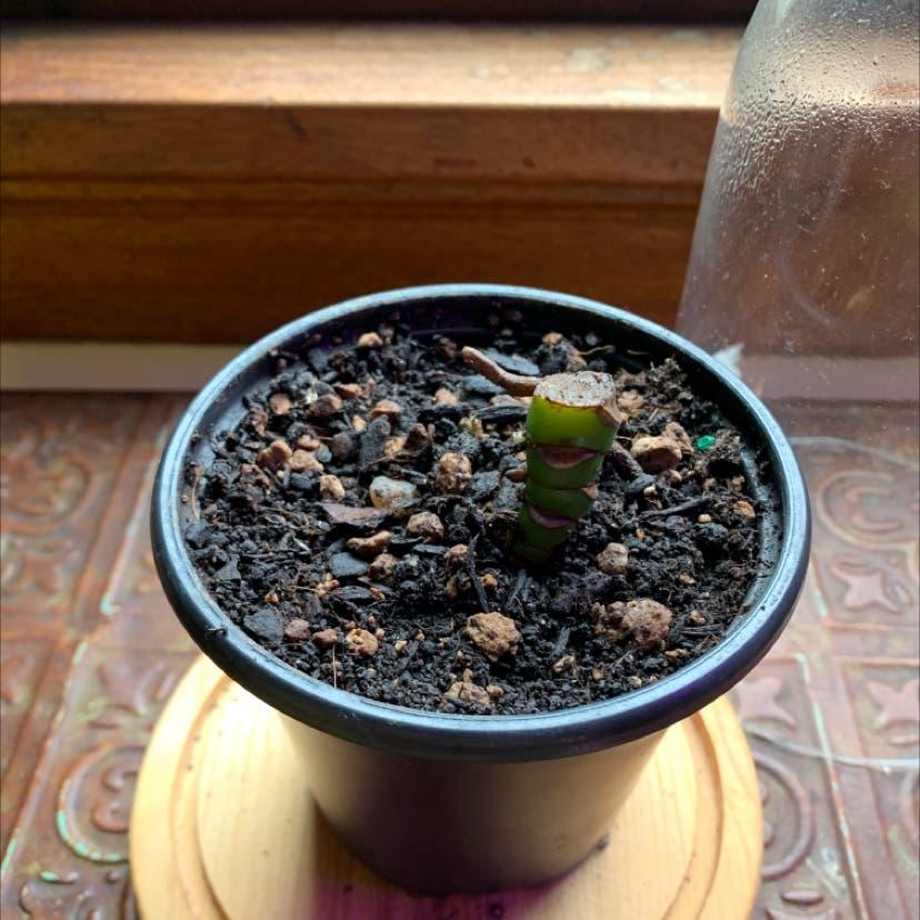 Mini Monstera plant in Portland, Oregon
