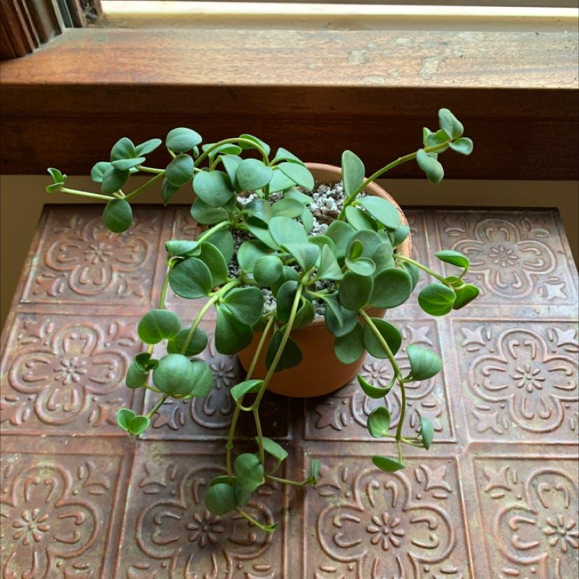 Peperomia 'Hope' plant in Portland, Oregon