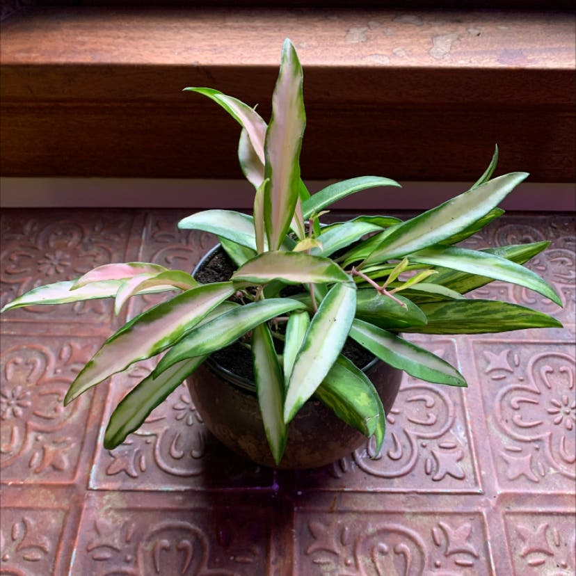 Variegated Hoya kentiana plant in Portland, Oregon