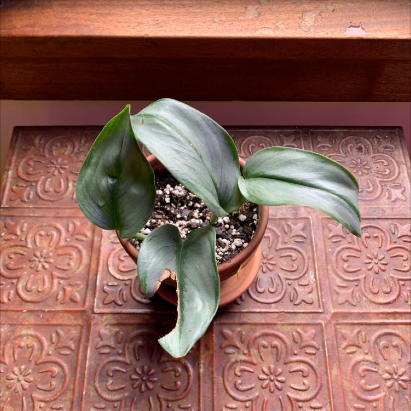 Scindapsus treubii 'Moonlight' plant in Portland, Oregon