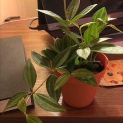 Peperomia 'Rocca Verde' plant