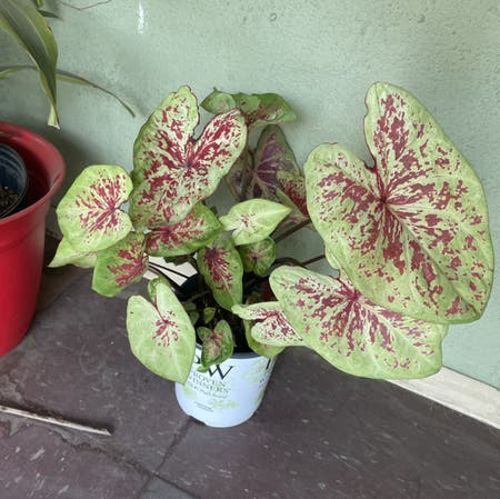Photo of the plant species Caladium 'Raspberry Moon' by Mesalii named Sorbet on Greg, the plant care app