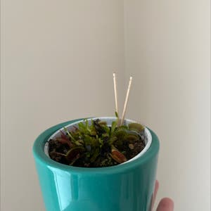 Venus Fly Trap plant photo by Jaimijo named Neptune on Greg, the plant care app.