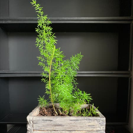 Photo of the plant species Sprenger's asparagus by Vega named A$AP Fern on Greg, the plant care app