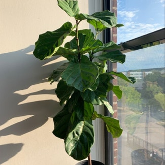 Fiddle Leaf Fig plant in Columbus, Ohio