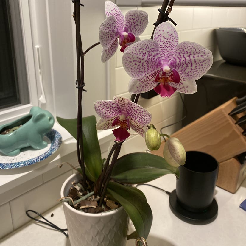 Phalaenopsis orchid plant in Somewhere on Earth