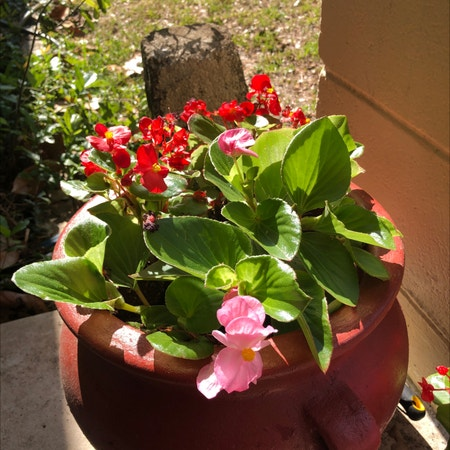 Photo of the plant species Pendula Begonia by Amimelia named Destiny's Child - Survivor on Greg, the plant care app