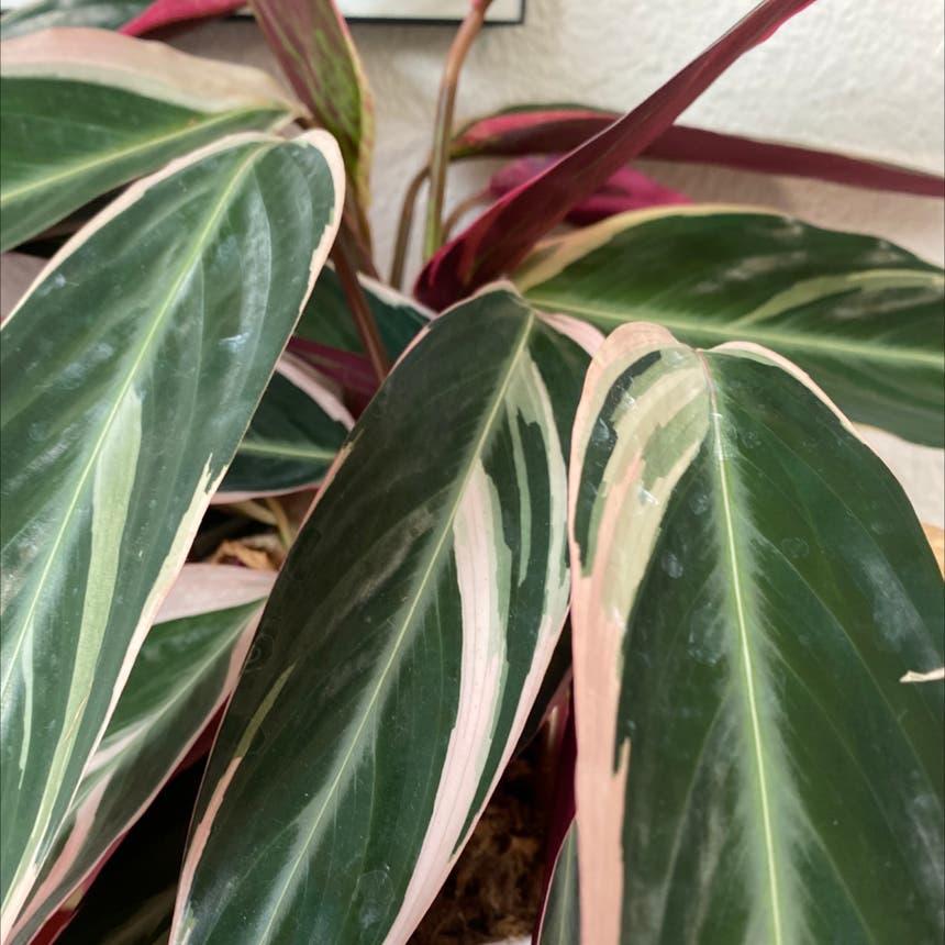 Triostar Stromanthe plant in Olympia, Washington