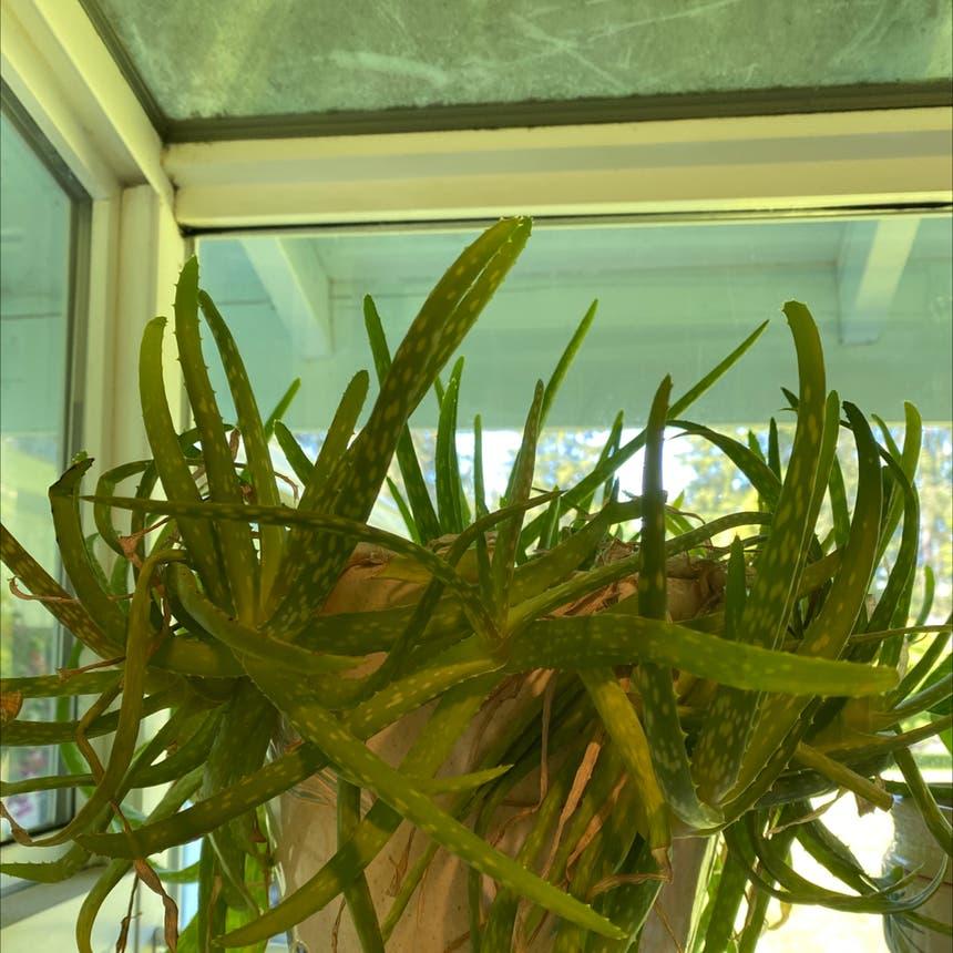 Aloe vera plant in Olympia, Washington