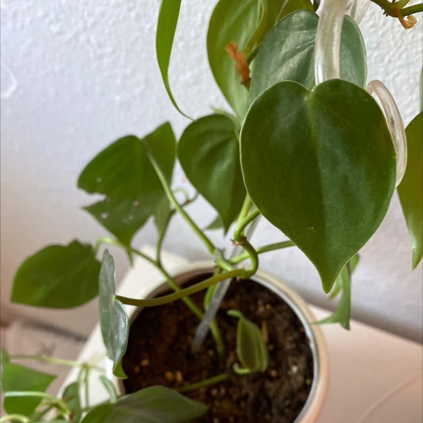 Heartleaf philodendron plant in Olympia, Washington