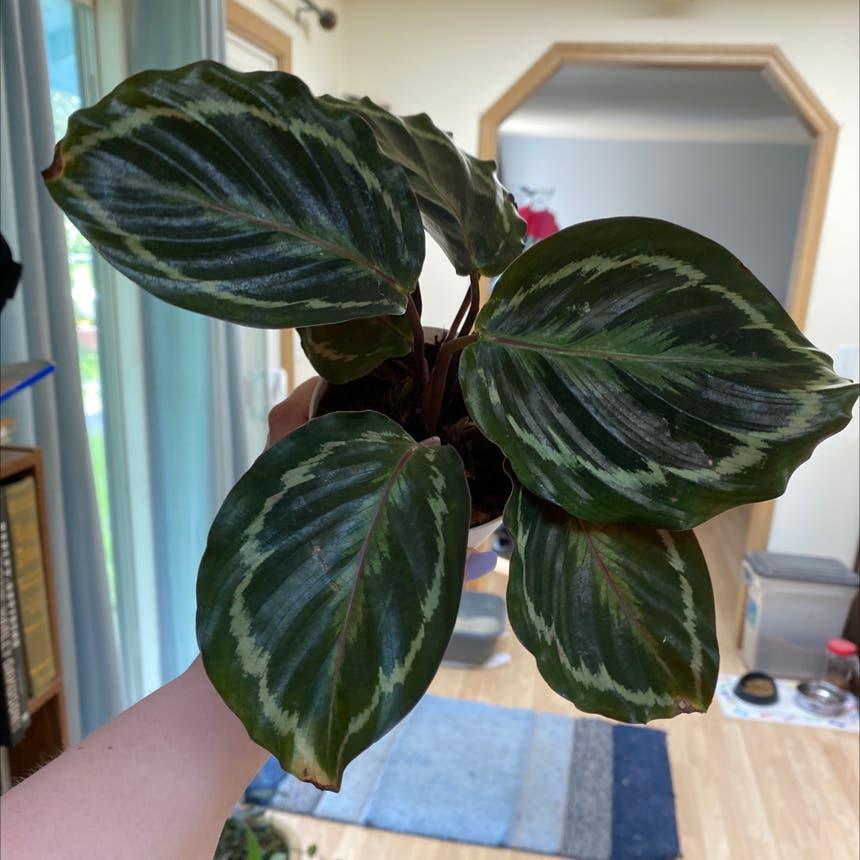 Rose Calathea plant in Olympia, Washington