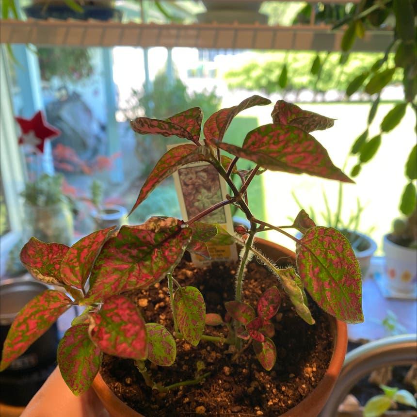 Polka Dot Plant plant in Olympia, Washington