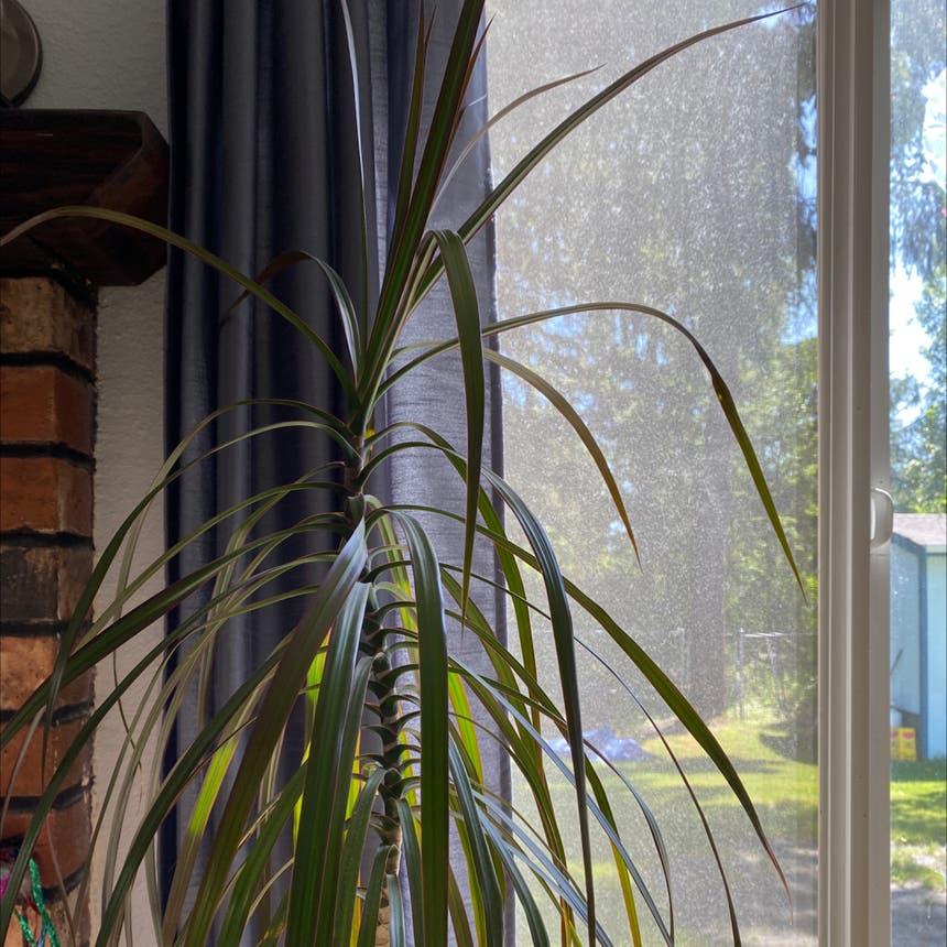 Dragon tree plant in Olympia, Washington