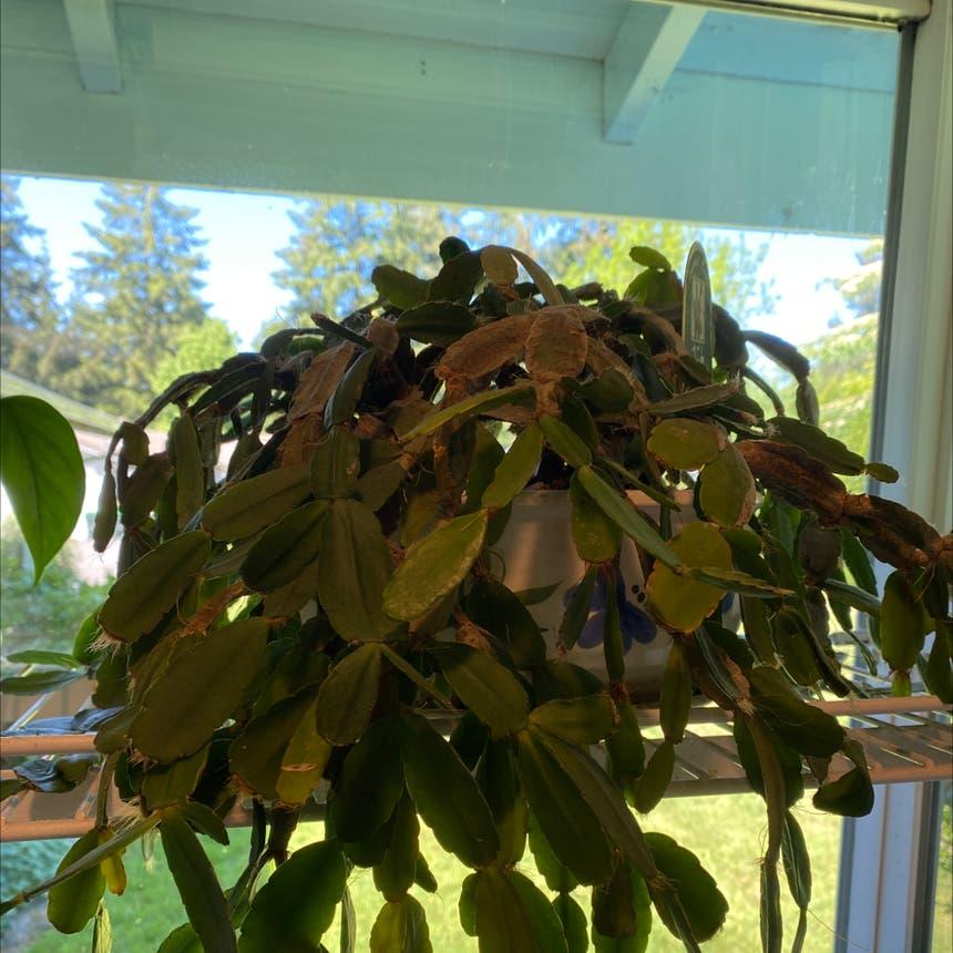 Hatiora gaertneri plant in Olympia, Washington