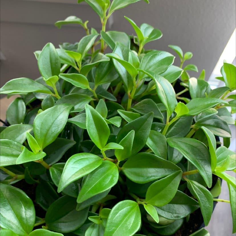 Peperomia 'Amigo Marcello' plant in Somewhere on Earth