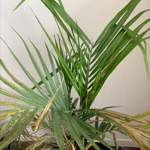 Rating of the plant Majesty Palm named Neil by Coloradokris on Greg, the plant care app