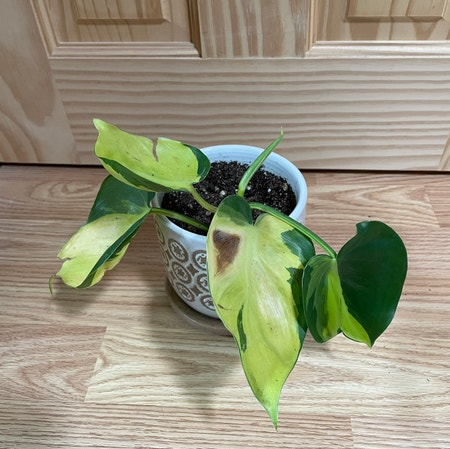 Photo of the plant species Variegated Philodendron by Kellyshea named Zephyr on Greg, the plant care app