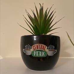 Echeveria 'Black Knight' plant