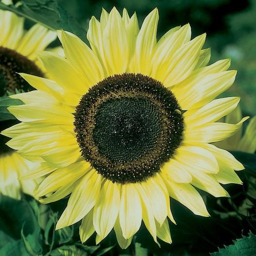 Common Sunflower plant in Somewhere on Earth