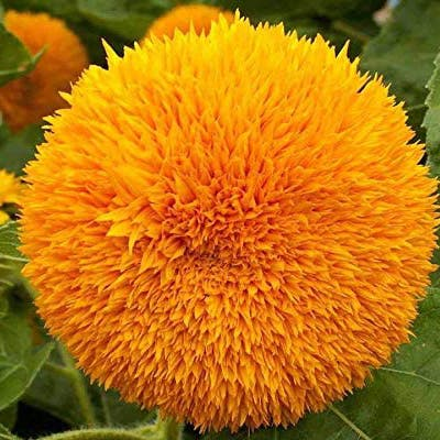 Teddy Bear Sunflower plant in Somewhere on Earth