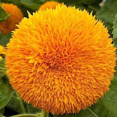 Photo of the plant species Teddy Bear Sunflower by Unsiz named Teddy Bear on Greg, the plant care app