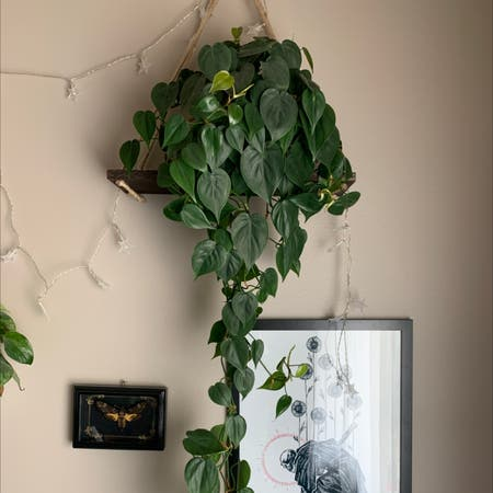 Photo of the plant species Philodendron cordatum by Palutena_ named Baby on Greg, the plant care app