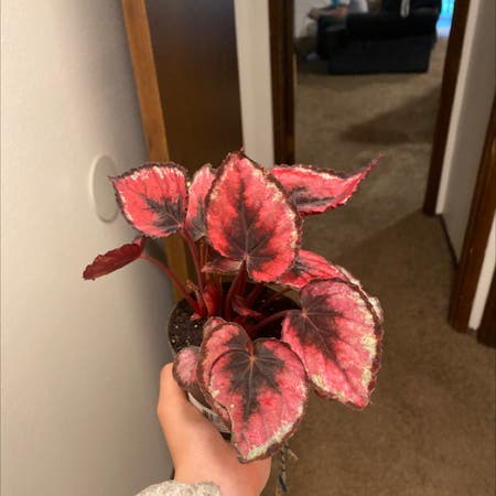 Photo of the plant species Painted-leaf Begonia by Kimmy77950 named Rex on Greg, the plant care app