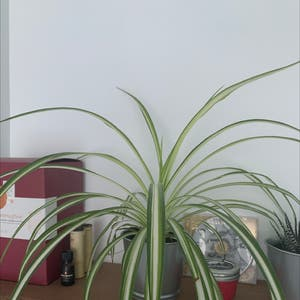 Rating of the plant Spider Plant named Peter by Lep7349 on Greg, the plant care app