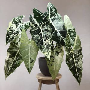 Variegated Alocasia frydek plant photo by Radio1_asia named Gon on Greg, the plant care app.