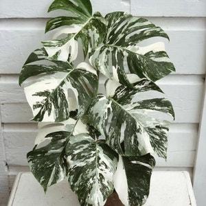 Monstera 'Albo' plant photo by Radio1_asia named Todoroki on Greg, the plant care app.