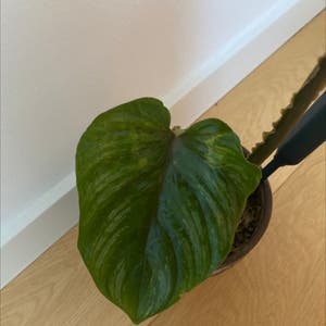 Philodendron plowmanii plant photo by Chanel named Bella Hadid on Greg, the plant care app.