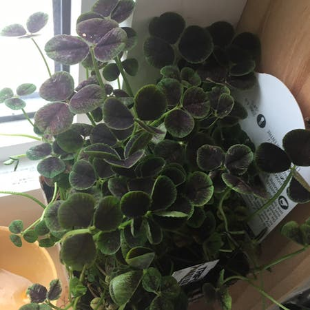 Photo of the plant species Black-Leaved Clover by Katiesplantcarlos named Carlos on Greg, the plant care app