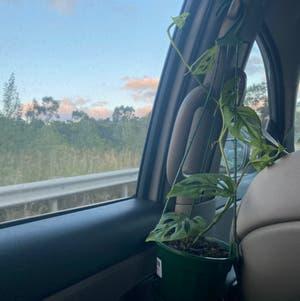 Monstera adansonii 'Laniata' plant photo by Ebstahhh named Aria on Greg, the plant care app.