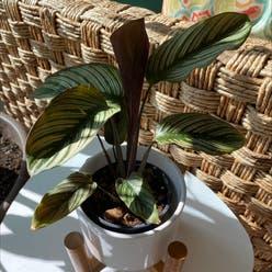 Majestic Prayer Plant plant