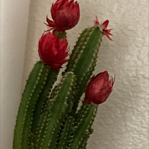 Columnar Cactus plant photo by Blueplantlady named Annya on Greg, the plant care app.