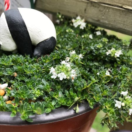 Photo of the plant species Thymus Albus by Lu named Your plant on Greg, the plant care app