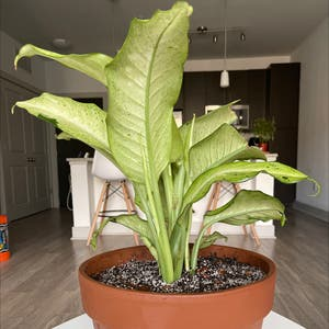 Rating of the plant Dieffenbachia named Camoflauge Dieffenbachia by Steeze365daily on Greg, the plant care app