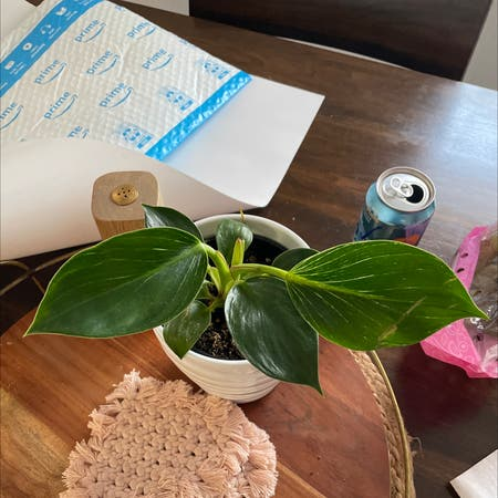 Photo of the plant species peperomia maculosa by Dtoured named Xena on Greg, the plant care app
